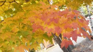 Fall leaves with brightly colored leaves